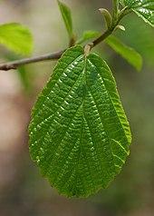 Witch hazel leaf extract