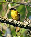 Common Yellowthroat (14705295363).jpg