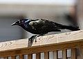 Common grackle (2466877775).jpg