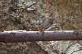 Common kingfisher (5).jpg