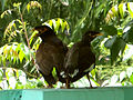 Common myna (Adult and Juvenile) spotted at Madhurawada 05.jpg