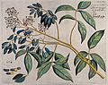 Connarus pinnatus Lam.; branch with flowers and fruit and se Wellcome V0042656.jpg