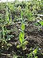 Conringia orientalis sl16.jpg