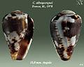 Conus albuquerquei 1.jpg