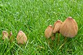 Coprinellus micaceus (8033806254).jpg