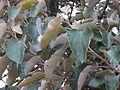 Cordia macleodii - leaves.JPG