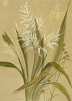 Cordyline Banksii. (1880s or 1890s) by Emily Cumming Harris.jpg