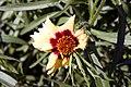 Coreopsis Autumn Blush 9zz.jpg