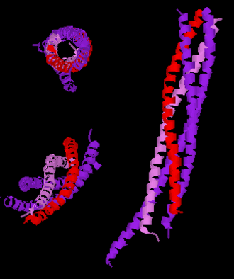 Synaptobrevin - Three different views of the high resolution structure of a truncated neuronal SNARE complex. Legend: synaptobrevin-2 (red), Syntaxin-1 (pink), SNAP-25 (purple).