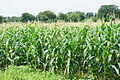 Corn plantation.JPG