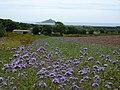 Cornflowers ^ caravan - panoramio.jpg