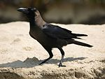 Corvus splendens -Kerala, India-8.jpg