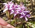 Corymbium glabrum vBerkel 2.jpg