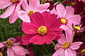 Cosmos flower at lalbagh 7075.JPG