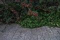 Cotoneaster lacteus na Gulbenkian (31092973486).jpg