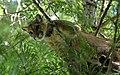 Cougar - panoramio.jpg