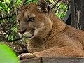 Cougar 2 (9112359294).jpg