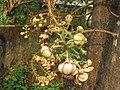 Couroupita guianensis - Cannon Ball Tree at Peravoor (12).jpg