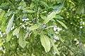 Couroupita guianensis 17zz.jpg