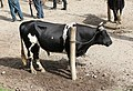 Cow in Otavalo.jpg