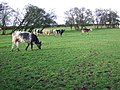 Cows Grazing - geograph.org.uk - 316532.jpg