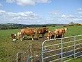 Cows at Bracky - geograph.org.uk - 787821.jpg