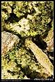 Crambidae (5184928212).jpg