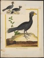 Crax daubentoni - 1700-1880 - Print - Iconographia Zoologica - Special Collections University of Amsterdam - UBA01 IZ16900075.tif