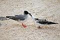 Creagrus furcatus -Darwin Bay, Genovesa Island, Galapagos Islands, Ecuador -adult feeding chick-8.jpg