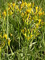 Crepis acuminata (5258651072).jpg