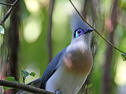 Crested Coua RWD2.jpg