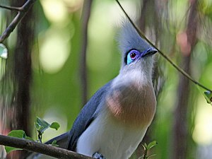 Crested coua - Image: Crested Coua RWD2