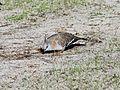 Crested Pigeon - Flickr - GregTheBusker.jpg