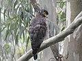 Crested serpent-eagle2.jpg