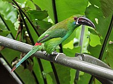 Crimson-rumped Toucanet RWD.jpg