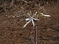 Crinum eleonorae.jpg