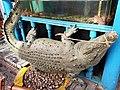 Crocodilia - Crocodylus acutus - 4.jpg