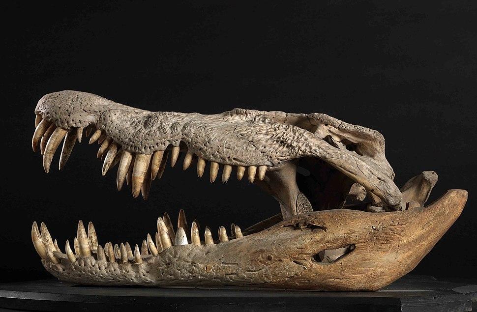 Crocodylus porosus (AM LH622-2a)