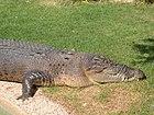 Crocodylus porosus 4.jpg