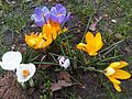 Crocus 3 sp. - kew 1.jpg