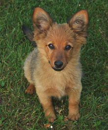 Pies Nierasowy Wikipedia Wolna Encyklopedia