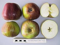Cross section of Poor Man's Profit, National Fruit Collection (acc. 1948-159).jpg