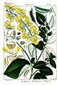 Crotalaria wallichiana Rungiah.jpg