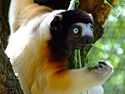 Crowned sifaka.jpg