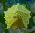 """Cucurbita pepo """"zapallo de Angola"""" semillería La Paulita - flor femenina (VE02) disposición pétalos pimpollo día anterior antesis.jpg"""