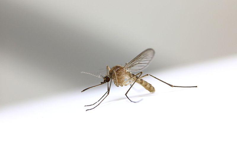La zanzara Culex  e la febbre del West Nile