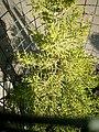 Cupressus macrocarpa 'Goldcrest' at Akola, Maharashtra, India1.jpg