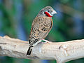 Cut-throat Finch male RWD5.jpg