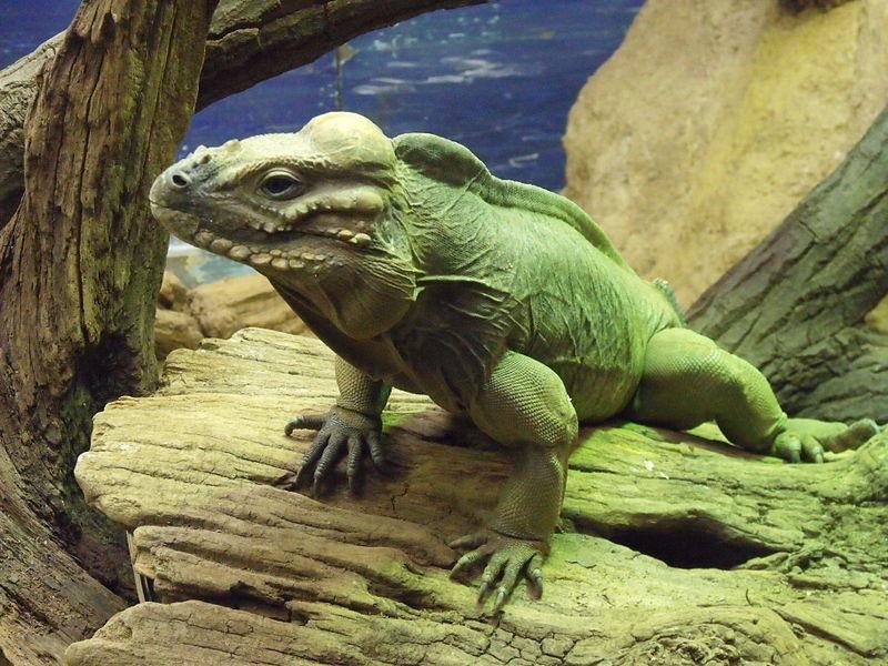 Green Rhino Iguana