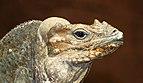 Cyclura cornuta - Reptilium Landau.jpg